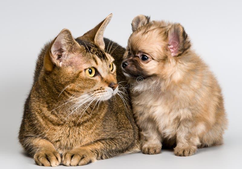 Gato e o filhote de cachorro do spitz-cão imagens de stock