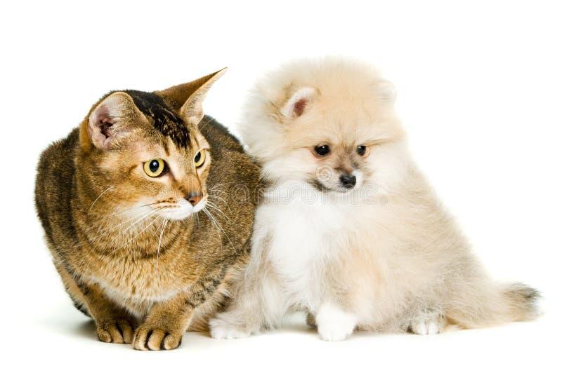 Gato e o filhote de cachorro do spitz-cão imagens de stock royalty free