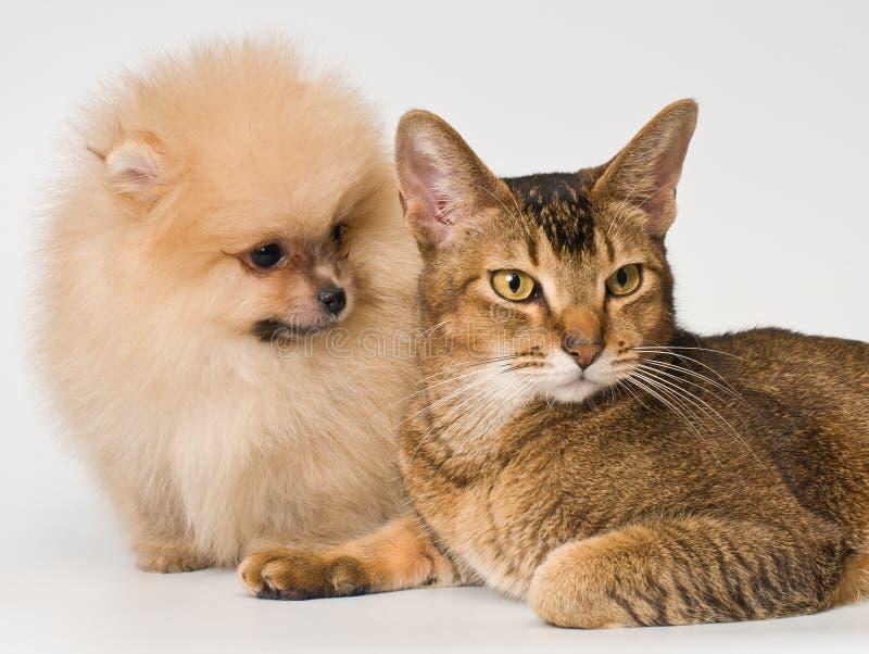 Gato e o filhote de cachorro do spitz-cão foto de stock