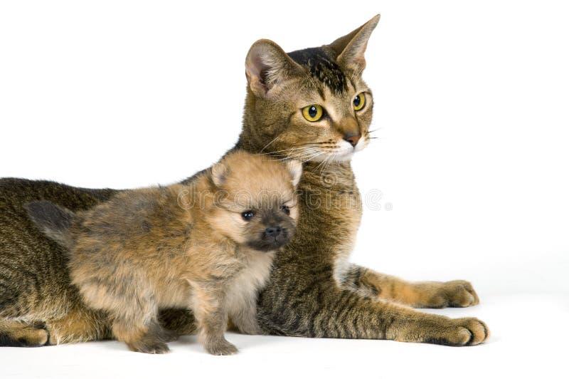 Gato e o filhote de cachorro do spitz-cão fotos de stock royalty free