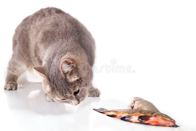 Gato e peixes em um fundo branco fotografia de stock