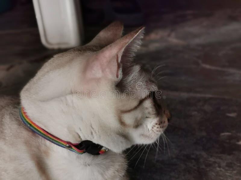 Gato, el animal doméstico nacional más preferido imágenes de archivo libres de regalías