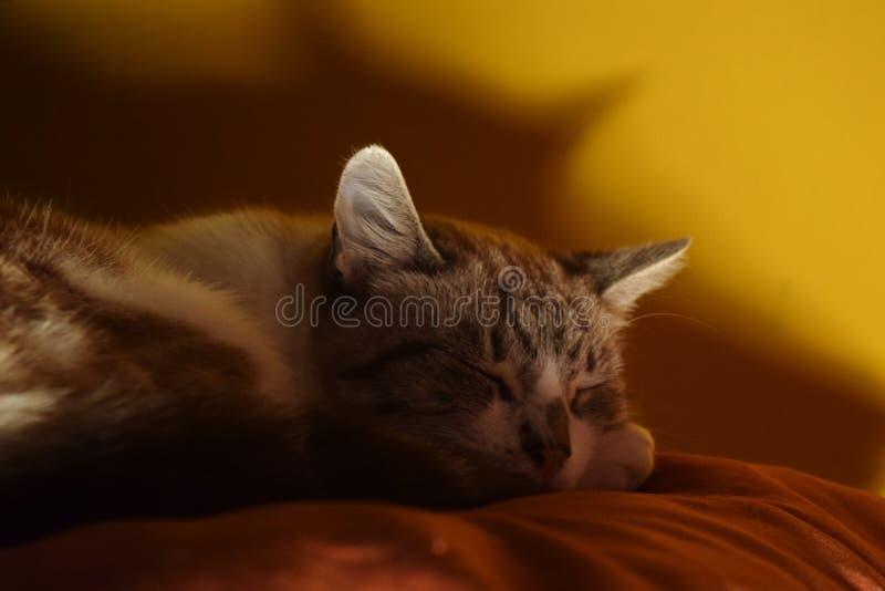 Gato el dormir en la almohada anaranjada imagen de archivo libre de regalías