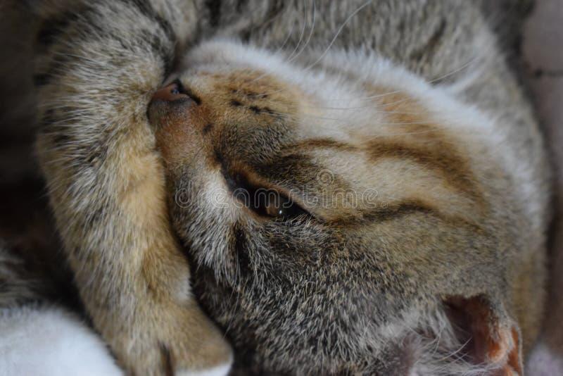 gato el Mitad-dormir foto de archivo