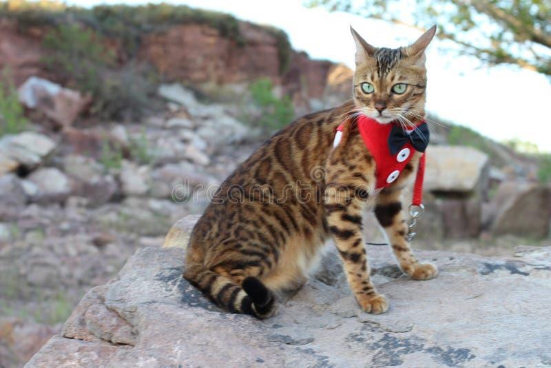 Gato elegante que mira con arrogancia fotos de archivo