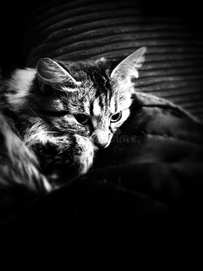 Gato em um sofá foto de stock royalty free