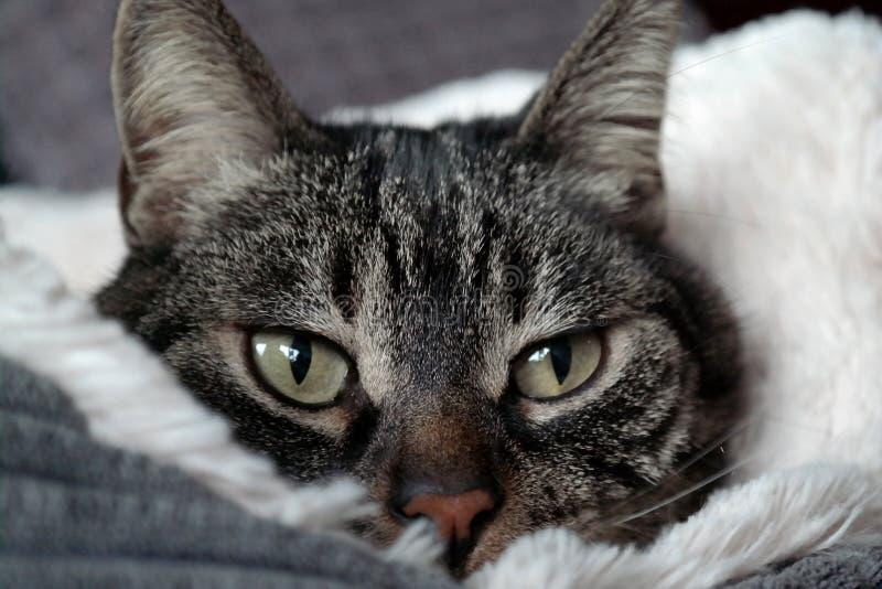Gato em uma cama macia fotos de stock royalty free