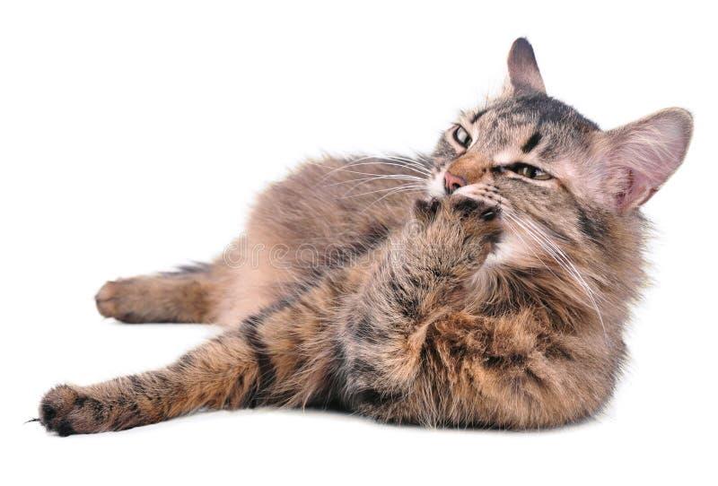 Gato embarazada de la mezclado-raza gris hermosa que se lame la pata imagen de archivo libre de regalías
