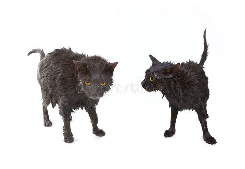 Gato empapado negro lindo después de un baño, pequeño demonio divertido foto de archivo