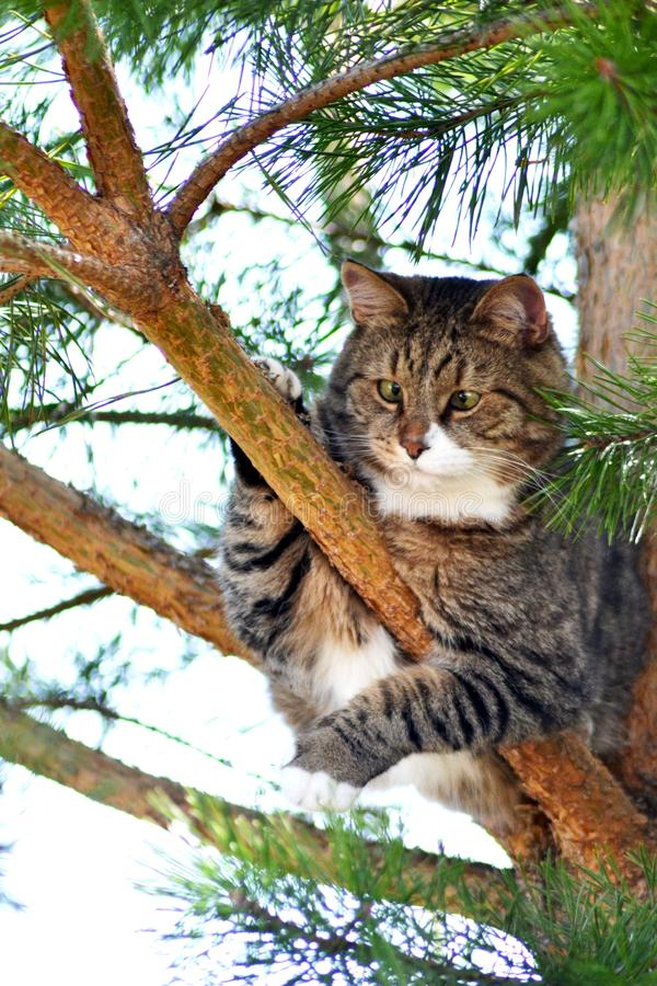 Gato en árbol de pino foto de archivo libre de regalías