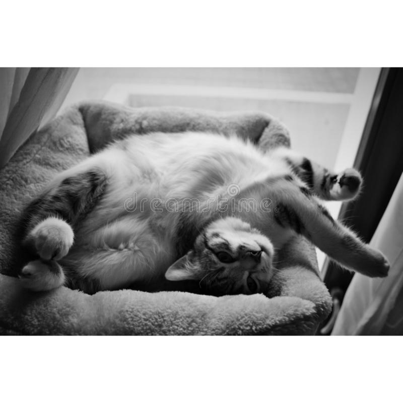Gato en blanco y negro fotos de archivo libres de regalías