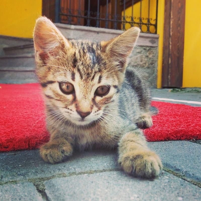 Gato en el pet& x27; alfombra roja de s imagenes de archivo