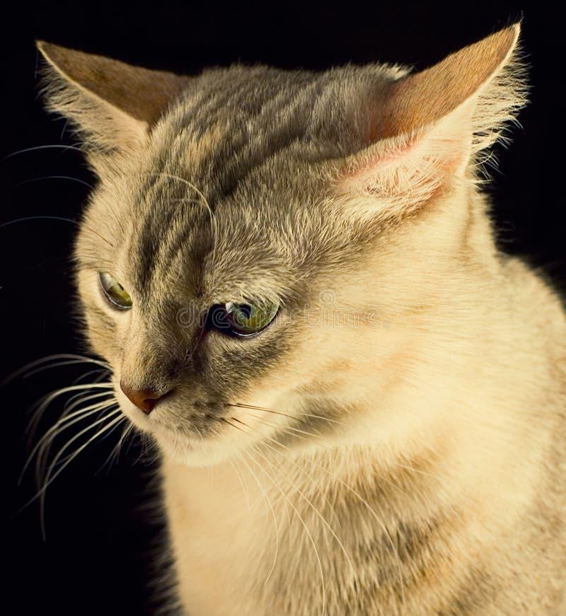 Gato en fondo negro imagen de archivo