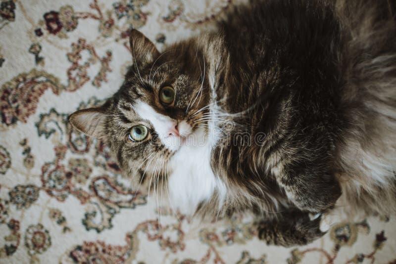 Gato en la alfombra Gato hermoso en la casa El gato miente en su parte posterior foto de archivo libre de regalías