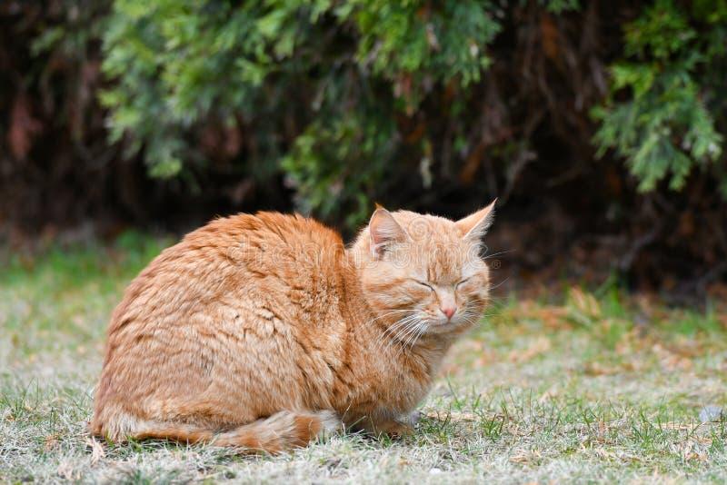 Gato en la hierba verde en verano Gato rojo hermoso con los ojos amarillos imagenes de archivo