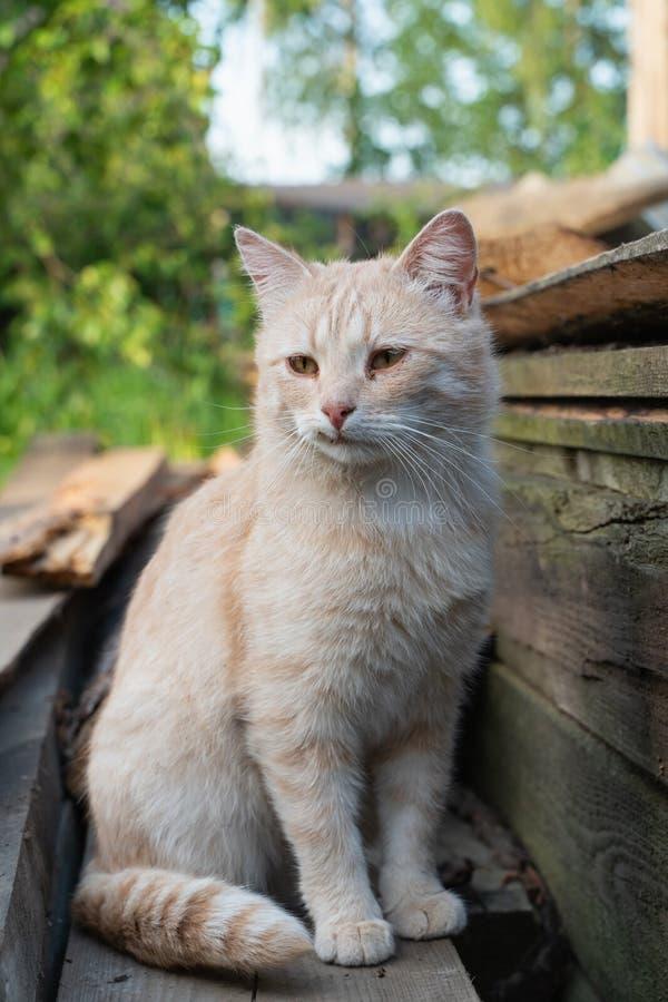 Gato en la hierba verde en verano Gato rojo hermoso con los ojos amarillos imagen de archivo libre de regalías