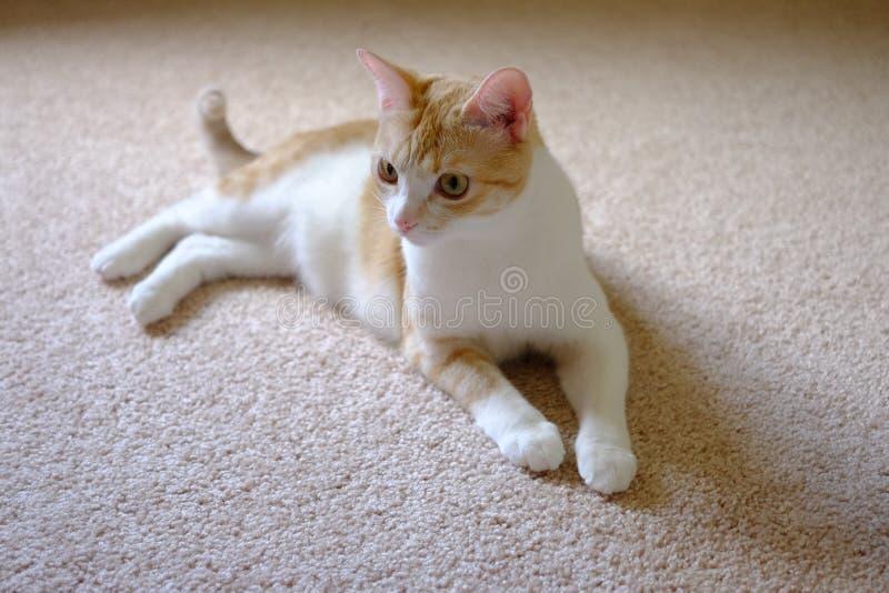 Gato en la mirada del piso foto de archivo