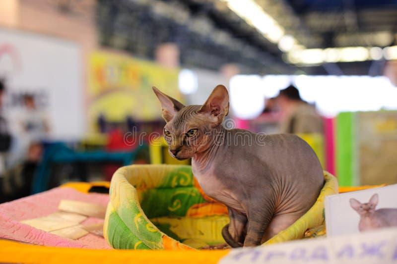 Gato encantador de Sphynx foto de stock royalty free