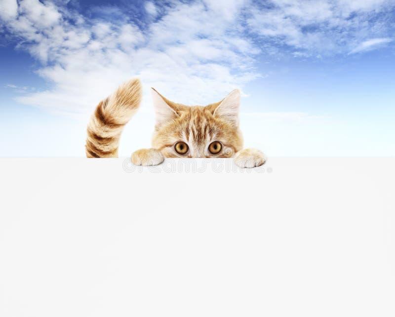 Gato engraçado do animal de estimação que mostra um cartaz isolado no espaço vazio do molde e da cópia da bandeira da Web do fund imagens de stock