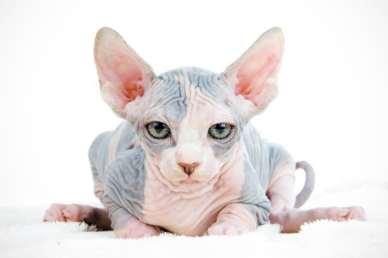 Gato engraçado do sphinx fotografia de stock royalty free