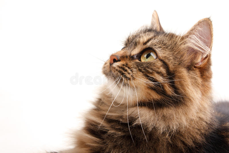 Gato engraçado no fundo branco imagens de stock royalty free