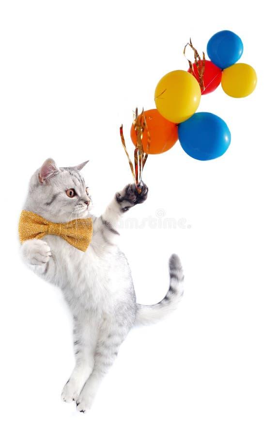 Gato escocés con el arqueamiento y los globos foto de archivo libre de regalías