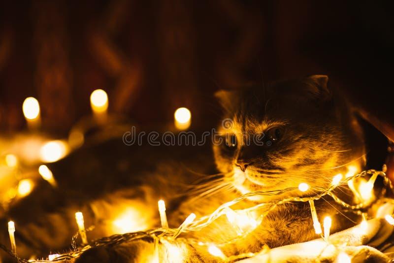 Gato escocés con las luces de la Navidad en el sofá imagen de archivo libre de regalías