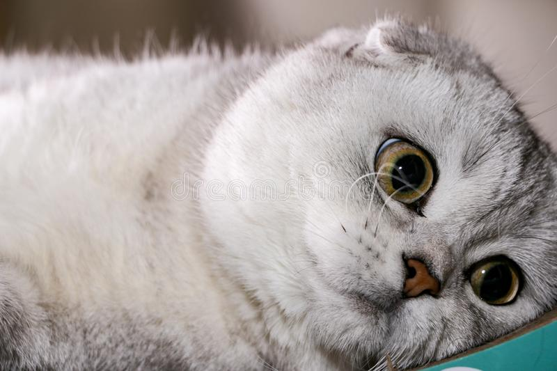 Gato escocés del doblez de la chinchilla de plata adorable imagen de archivo