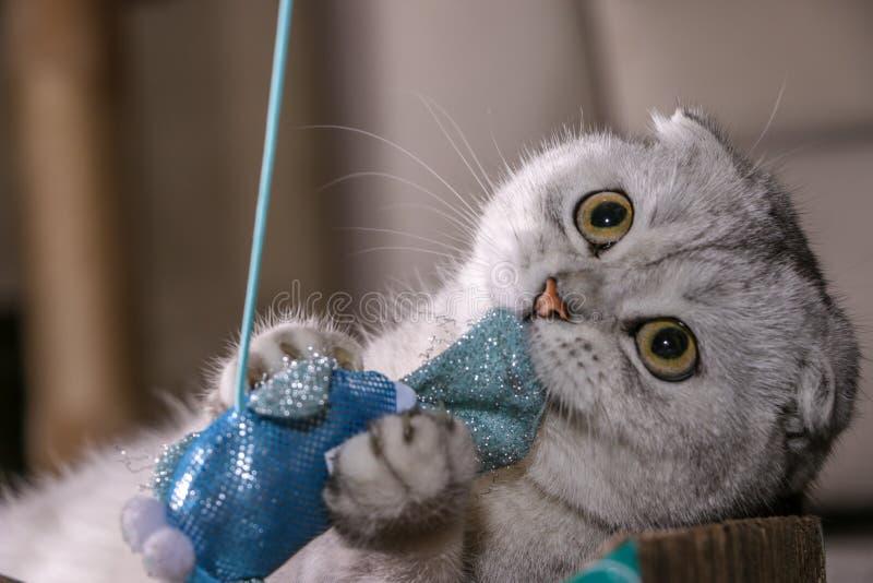 Gato escocés del doblez de la chinchilla de plata adorable imagen de archivo libre de regalías