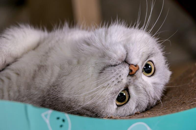Gato escocés del doblez de la chinchilla de plata adorable foto de archivo libre de regalías