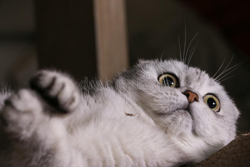 Gato escocés del doblez de la chinchilla de plata adorable imágenes de archivo libres de regalías
