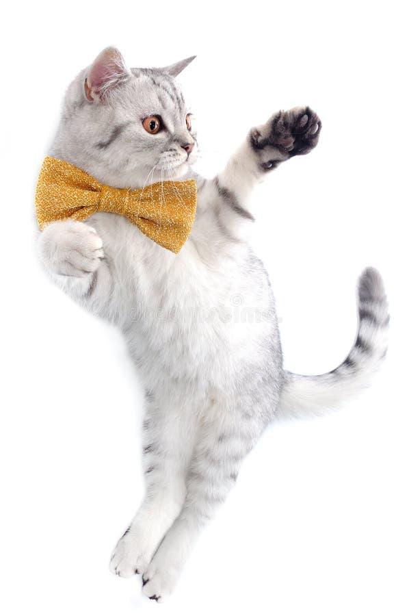 Gato escocés del tabby de plata lindo con jugar del arqueamiento imagenes de archivo