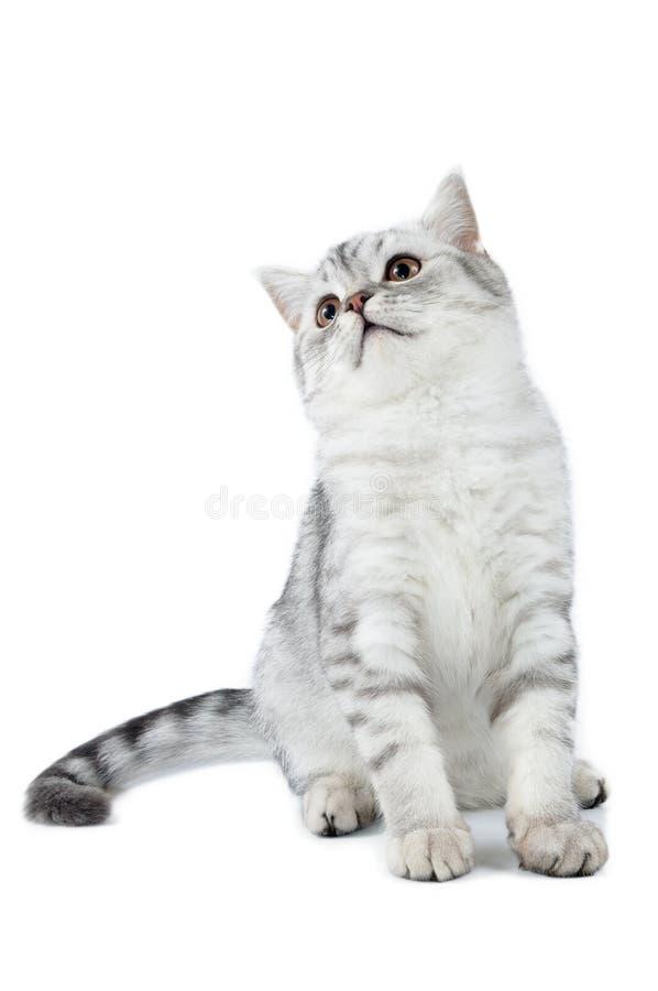 Gato escocés del tabby de plata que se incorpora y que mira imagenes de archivo