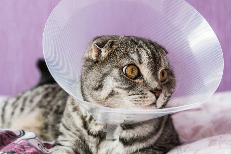 Gato escocés enfermo en un cuello protector plástico imagen de archivo