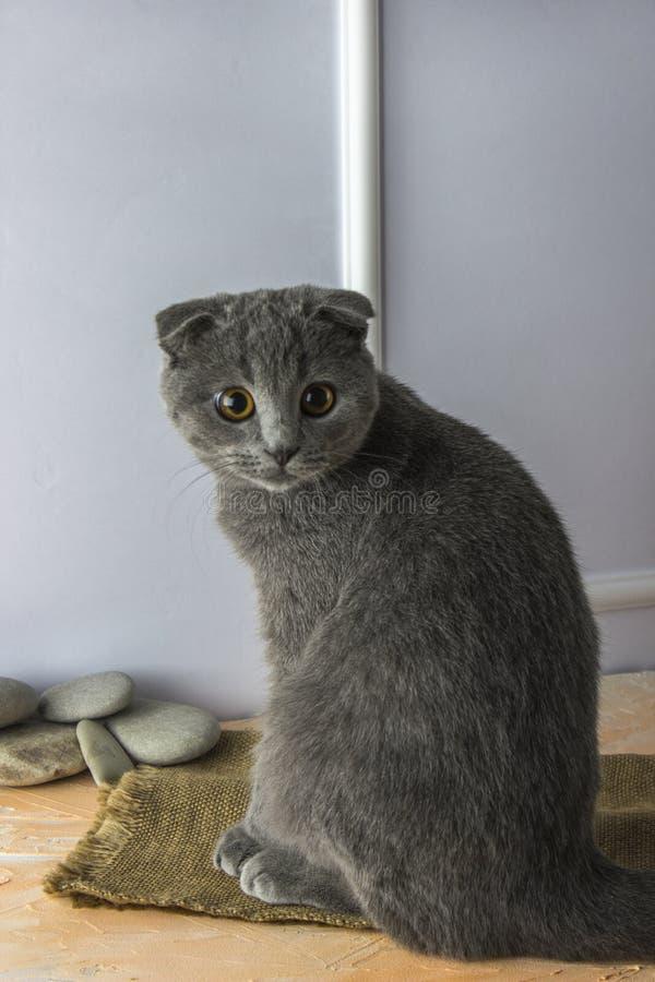 Gato escocés gris del doblez con los ojos de oro en un blanco, fondo del melocotón imagen de archivo