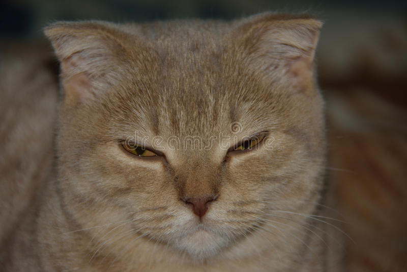 Gato escocês foto de stock