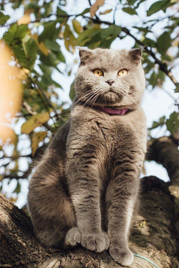 gato escocês Cinzento-azul da dobra em uma árvore imagem de stock royalty free