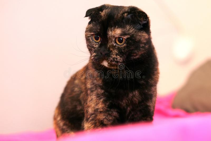 Gato escocês da concha de tartaruga da dobra que senta-se na cama em uma cobertura cor-de-rosa fotos de stock