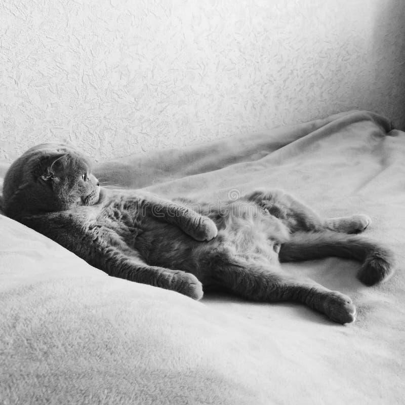 Gato escocês da dobra que encontra-se imponentemente no seu para trás com sua propagação das patas imagem de stock royalty free