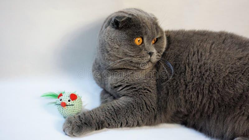 Gato escocês da dobra que encontra-se no assoalho com seu brinquedo favorito imagem de stock