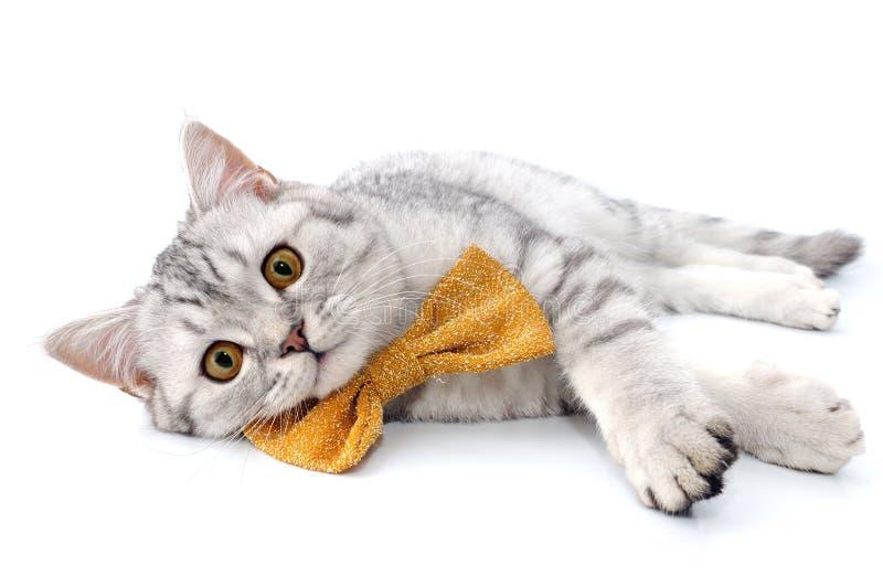 Gato escocês do tabby de prata com o laço de curva dourado fotos de stock royalty free