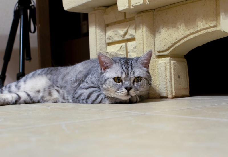 Gato escocês que encontra-se pela chaminé foto de stock royalty free