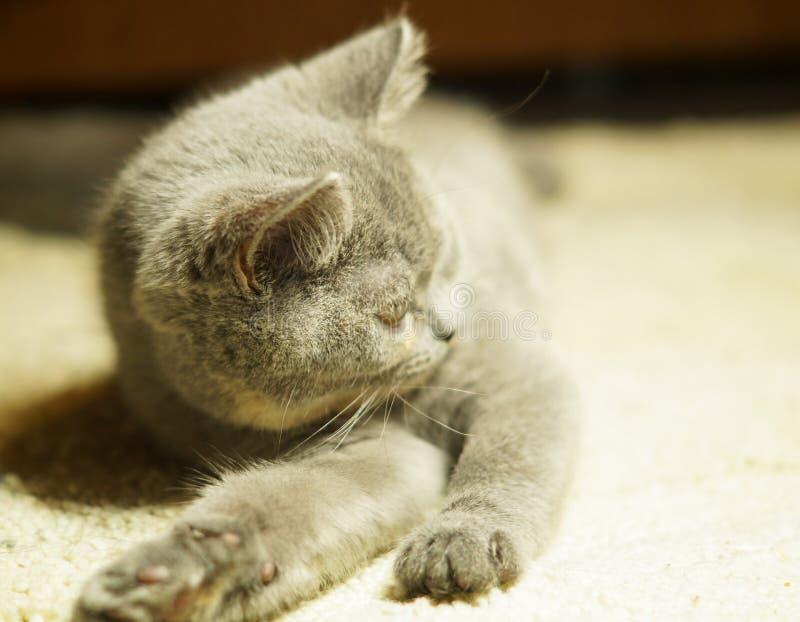 Gato escoc?s gris hermoso con los ojos amarillos que mienten en la alfombra imagen de archivo libre de regalías