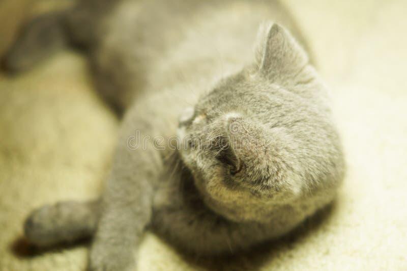 Gato escoc?s gris hermoso con los ojos amarillos que mienten en la alfombra imagenes de archivo