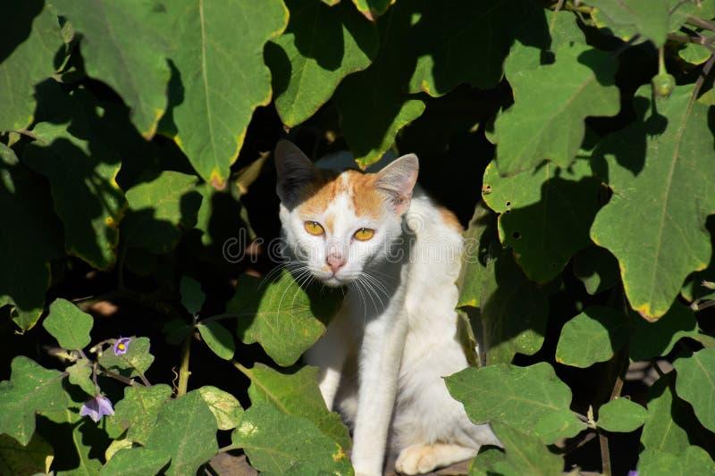 Gato escondido sob as folhas , Gato que espreita através do mato , Imagem do gato de Indain foto de stock