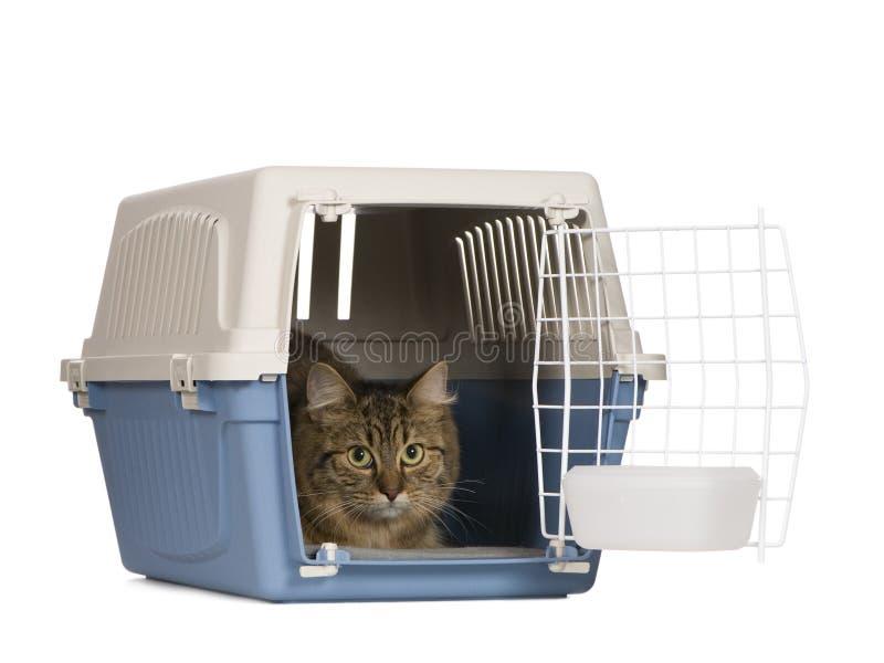Gato europeo (9 meses) imagen de archivo