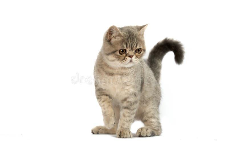 Gato exótico fotos de stock