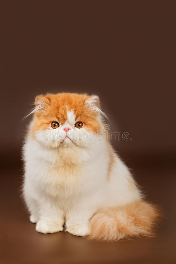 Gato exótico fotografía de archivo