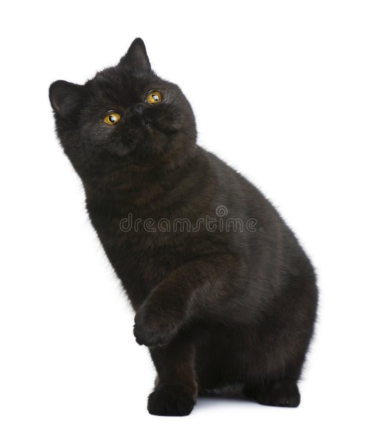 Gato exótico del shorthair, 8 meses fotografía de archivo libre de regalías