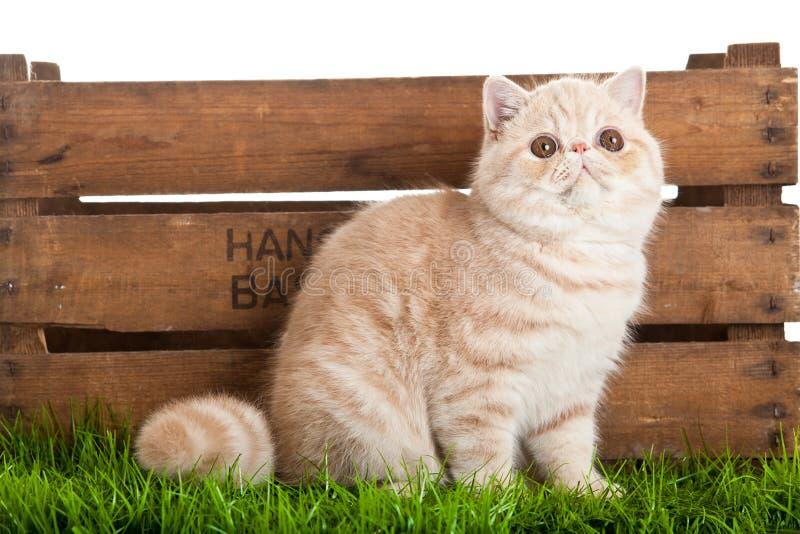 Gato exótico del shorthair. gato hermoso en una caja. foto de archivo libre de regalías